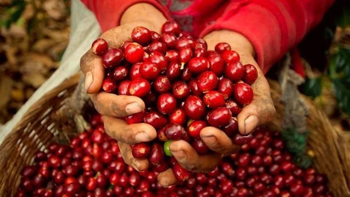 Giá cà phê hôm nay 21/10: Tiếp tục đà tăng trên cả hai thị trường